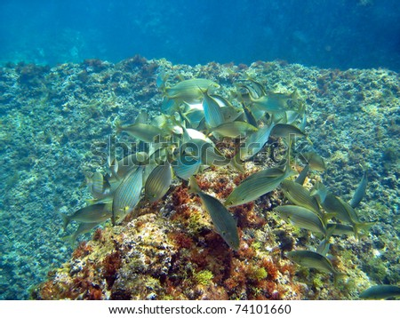 Algae Eating Fish on School Of Karanteen Fish Eating Algae  Banyuls Sur Mer Stock Photo
