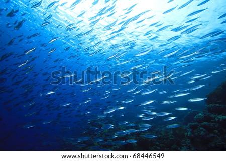 School of Mackerel Fish on coral reef