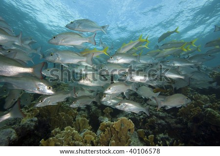 School of Mahogany Snapper (Lutjanus mahogoni) and Yellow Goatfish (Mulloidichthys martinicus) over a tropical corral reef.