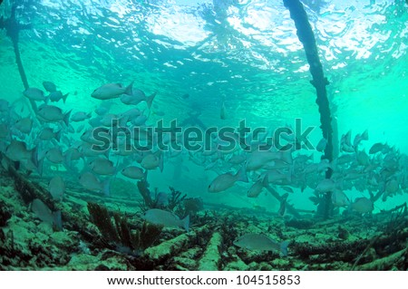 School of mangrove snapper (Lutjanus griseus ) fish underwater near oil rig