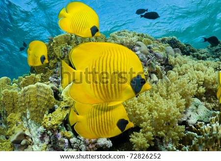 School of masked butterflyfish - a series of UNDERWATER IMAGES.