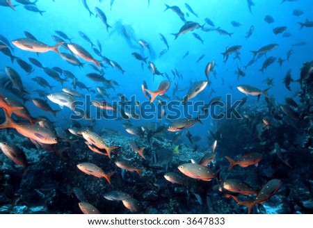 School of Pacific Creole fish, Paranthias colonus, a member of the anthia family on a Galapapgos dive site. - stock photo