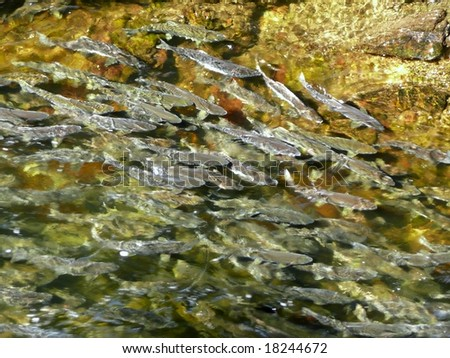school of Pink Salmon spawning in Ketchikan stream