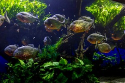 School of red bellied piranha
