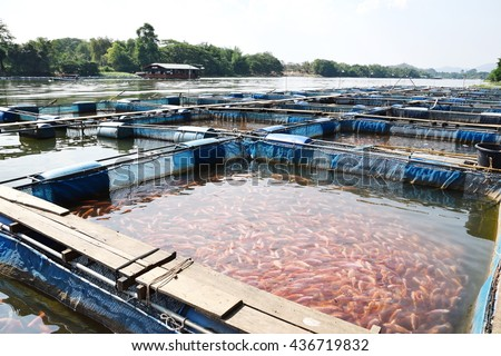 school of red tilapia (red perch) in the cage, aquaculture in Thailand