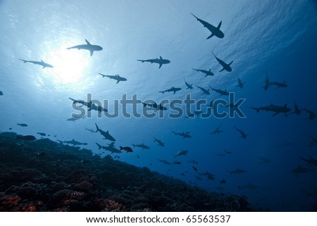 School of reef grey shark Carcharhinus Amblyrhinchos in deep blue of pacific ocean