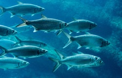 School of sardines swimming from left to right
