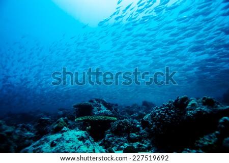 school of scad fish in Dimakya island, Palawan, Philippines. #227519692