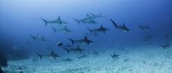 School of scalloped hammerhead sharks swimming over a sandy ocean floor, Darwin Island, Galapagos Islands, Ecuador.