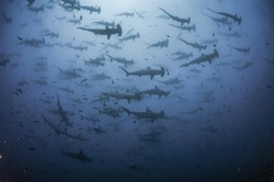 School of scalloped hammerhead sharks swimming overhead at the dive site