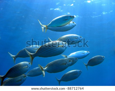 School of sea bream fish, Sarpa salpa, swimming to water surface, Mediterranean sea, Corsica, France