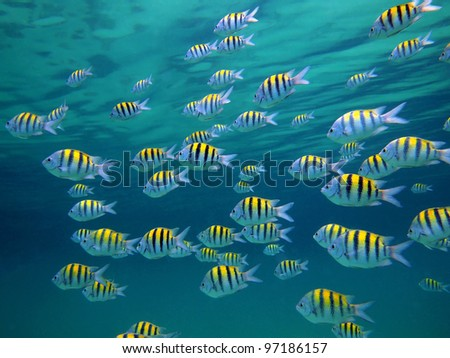 School of Sergeant-major fish with water surface in background, Caribbean sea