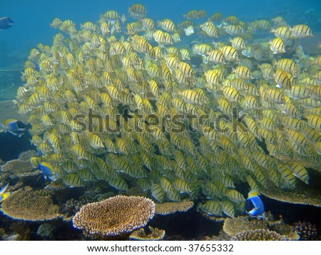 School of Sergeant Major fishes, Mirihi, Ari Atoll, Maldives