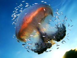 School of small fishes find a shelter around Haeckel's jellyfish