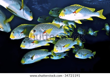 School of sweetlips. Coral Sea, Australia.
