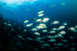 School of Trevally hunting on a tropical reef in Asia.