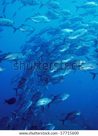 school of trevally in blue ocean