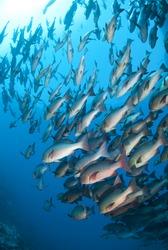 School of tropical Twinspot snapper, blue background. Shark reef, Ras Mohamed national Park, Red Sea, Egypt.