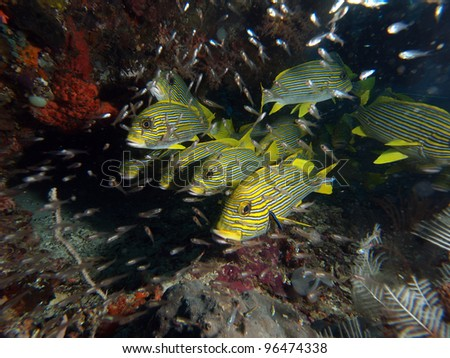 School of yellow ribbon sweetlips (Plectorhinchus polytaenia) in Indo-Pacific ocean