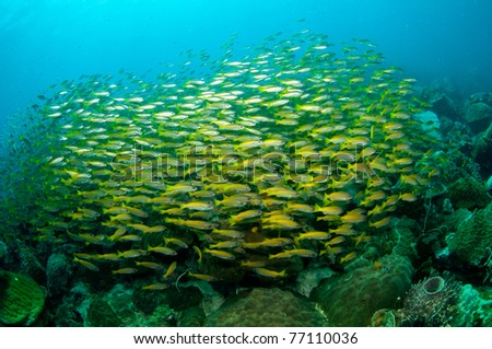 school of yellow tail fusiliers