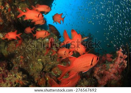 School red fish: Squirrelfish on coral reef underwater