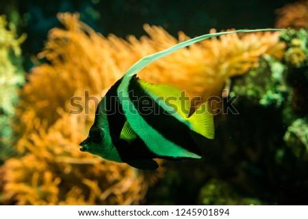 schooling bannerfish (Heniochus diphreutes), butterflyfish, coral reef fish, Salt water marine fish, beautiful yellow fish with tropical corals in background, aquarium, wallpaper #1245901894