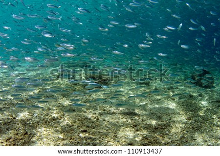 Schooling fish swimming in clear blue water.