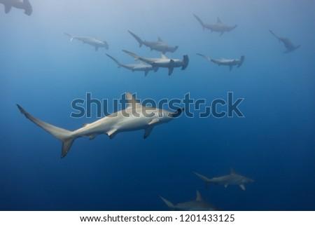 schooling hammerhead sharks #1201433125