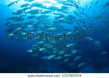 Schooling Jack Fish in blue water. Underwater image taken scuba diving in Indonesia ストックフォト ©