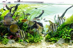 Schooling of Angelfish and Discus in Large Planted Aquarium