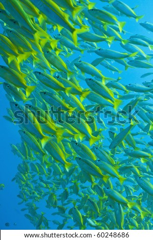 schooling yellow-stripped goatfish, Great barrier reef, Queenslaand, Australia