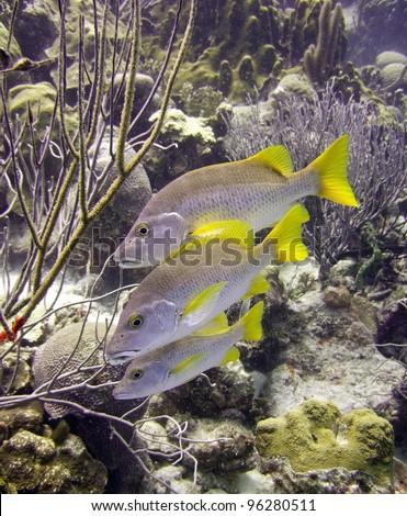 schoolmaster fish underwater on a tropical reef