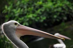 schwan beak on the park