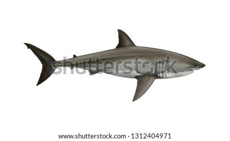 Scientific illustration of a  great white shark, Carcharodon carcharias. The most infamous but misunderstood shark. One of the largest predator animals in the world.