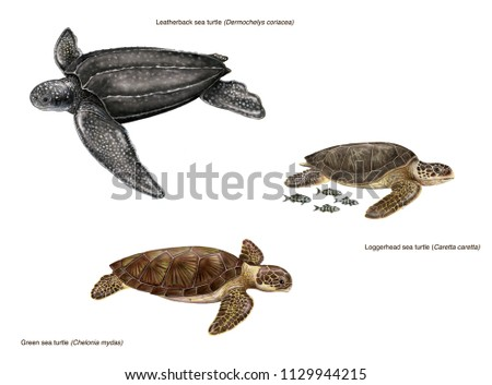 scientific illustration of 3 species of sea turtles: leatherback sea turtle (Dermochelys coriacea), loggerhead sea turtle (caretta caretta) and green sea turtle (Chelonia mydas)