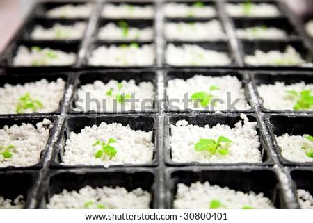 Scientific laboratory growing arabidopsis. selection for transgenic plant