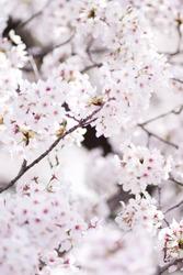 Scientific name is Cerasus ×yedoensis (Matsum.) Masam. & Suzuki 'Somei-yoshino.