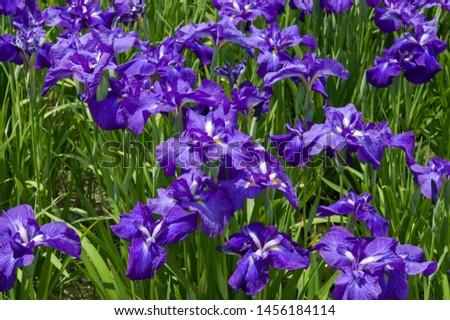 Scientific name is Iris ensata Thunb. var. ensata. The name of this iris ensata is Aizoshi.