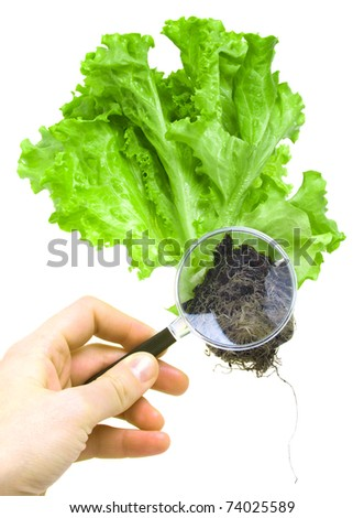 scientist hand with a magnifying glass over the lettuce seedling with the roots on a white background