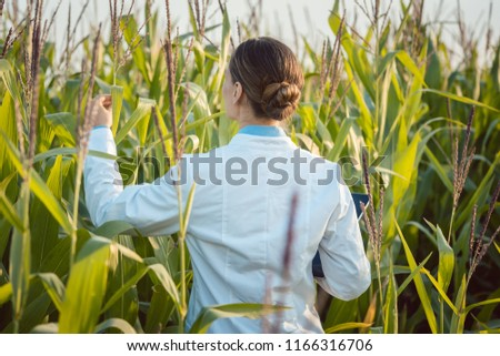 Scientist in corn field testing a new GMO breed looking pleased