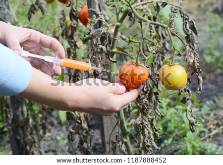 Scientist injecting chemicals into tomato GMO. Concept for chemical GMO  gm food.