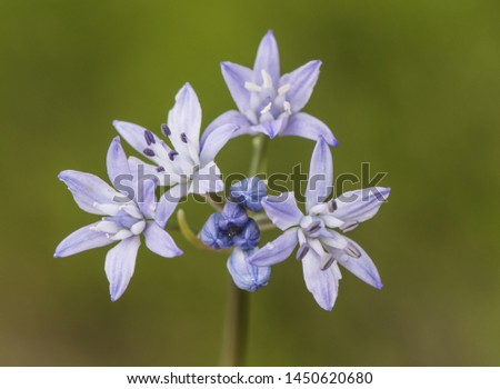 Scilla verna bluebell woods delicate purple or blue flower with cerulean aspect #1450620680