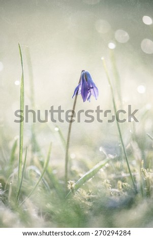 Scilla with dew drops in the light of an early morning in spring, close up, back light, textured picture