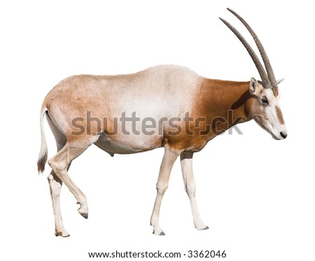 Scimitar Horned Oryx (damma) isolated over white background. Clipping path included.