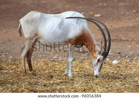 Scimitar Horned Oryx in zoo