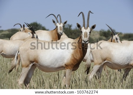 Scimitar-horned Oryx (Oryx dammah). Extinct in the wild. Current world population approx 4000 animals bred from 7 survivors from zoos around the world.