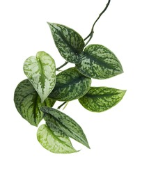Scindapsus pictus leaves, Satin Pothos plant, Exotic foliage isolated on white background, with clipping path