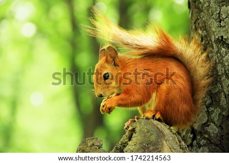 Photo of  Sciurus. Rodent. The squirrel sits on a tree and eats. Beautiful red squirrel in the park.