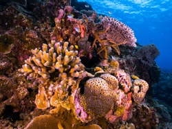 Scleractinians Stony Hard Corals are reef building (Hermatypic corals) marine animals in phylum Cnidaria that build themselves a hard skeleton around barrier reef of Thailand - Indo Pacific Ocean.