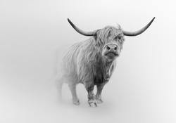 scoitish highlands cattle wild cow farm animal